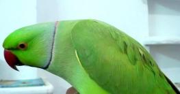 দুষ্টু টিয়া পাখির কাণ্ড