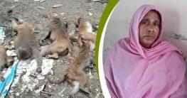 মাদারীপুরে ১৬ বানর হত্যার দায় স্বীকার করলেন নারী